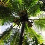 Coconut Oil: Oil From the Tree of Life